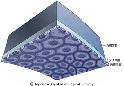 図2 角膜内皮の構造